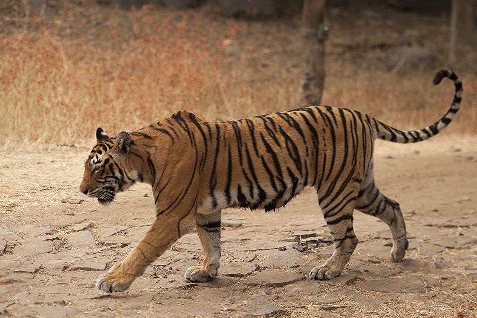 Machali tigress